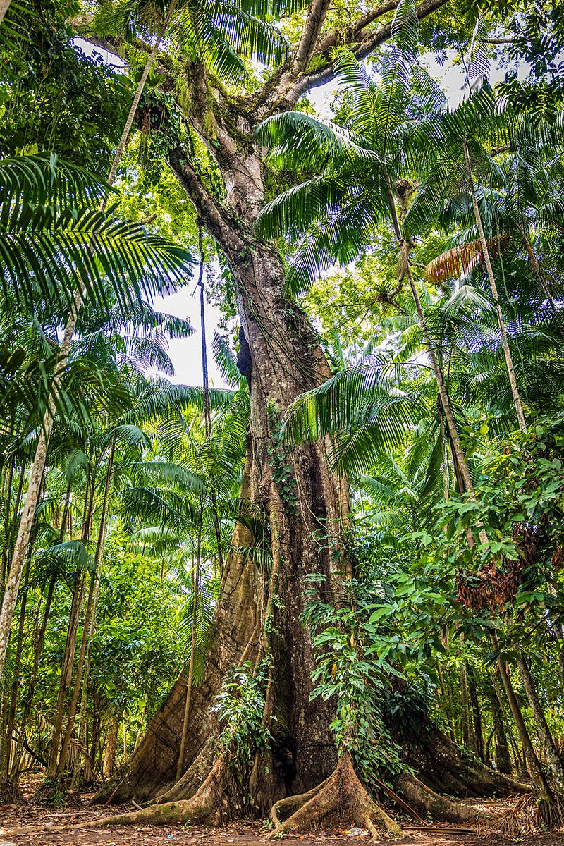 A sumaúma tree reaches towards clear skies, it's huge base covering a large expanse of ground.