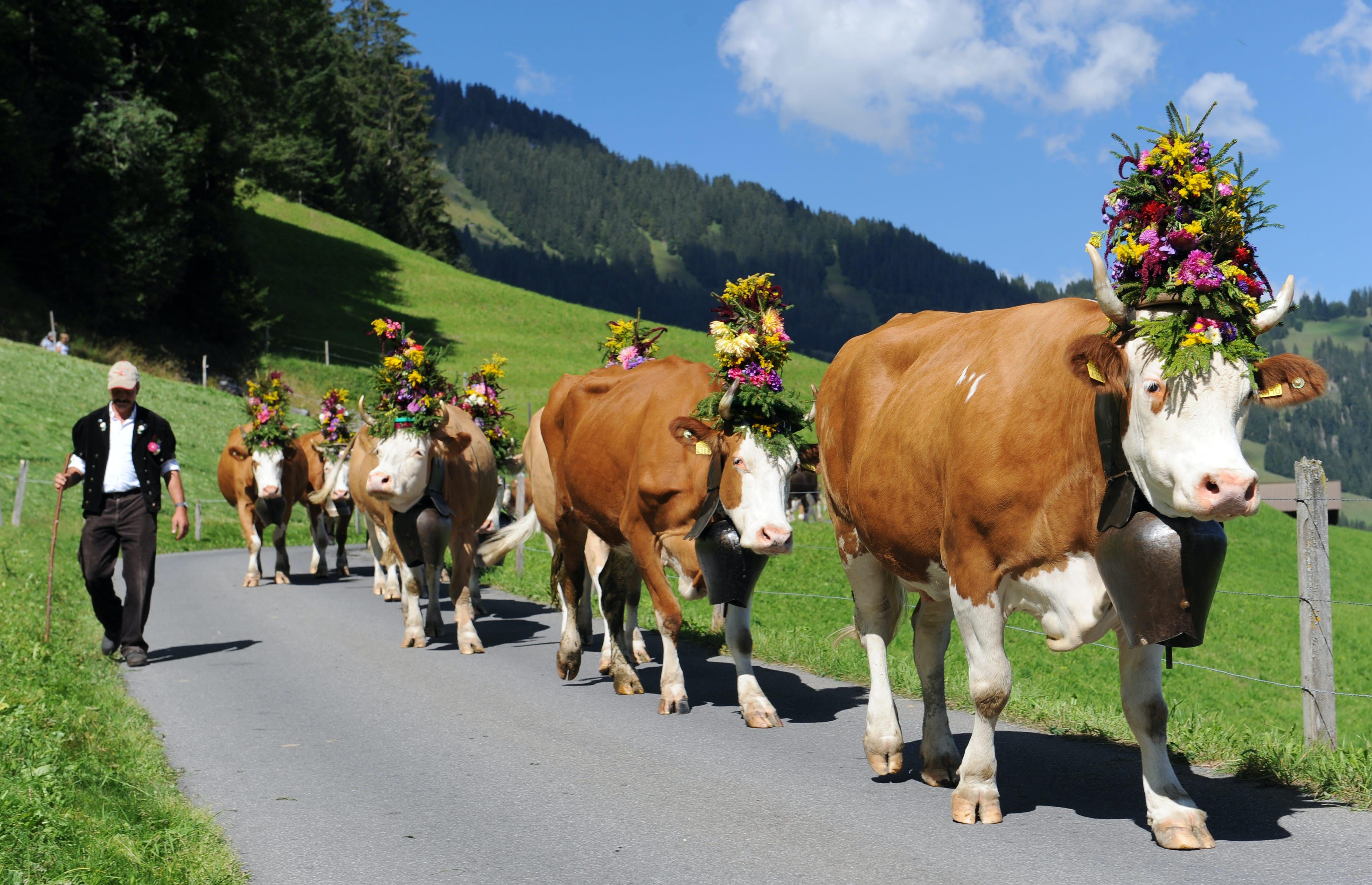 Swiss dairymen w//cows 5//