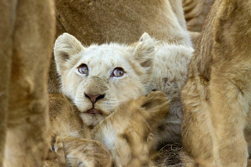 A white lion cub is completely surrounded by tawny-coloured lions; it rests its head on the neck of another cub.