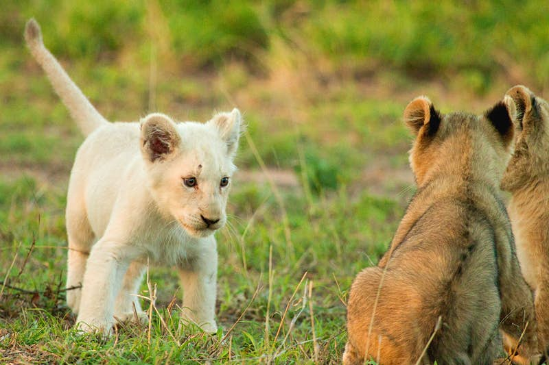 A white lion cub, with tail raised, stands in short green grass facing two tawny-coloured cubs who are sitting and looking towards her.