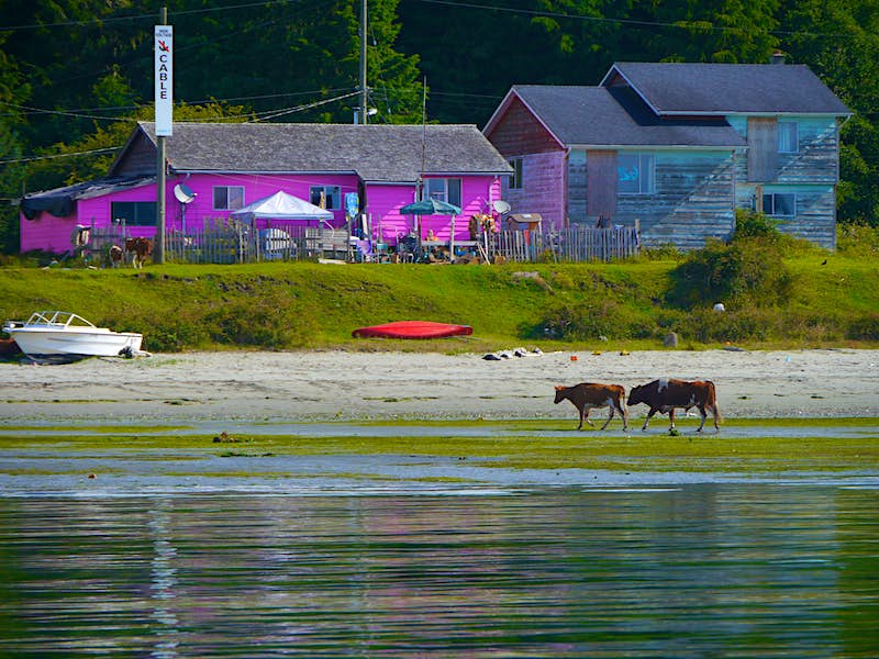A brown and white cow and a matching bull walk through the low tide surrounded by green seaweed on Opitsaht beach near Tofino. A red kayak is overturned in the background near a small white motorboat, and a bright fuchsia building sits next to a worn, weathered wooden building with shuttered windows.