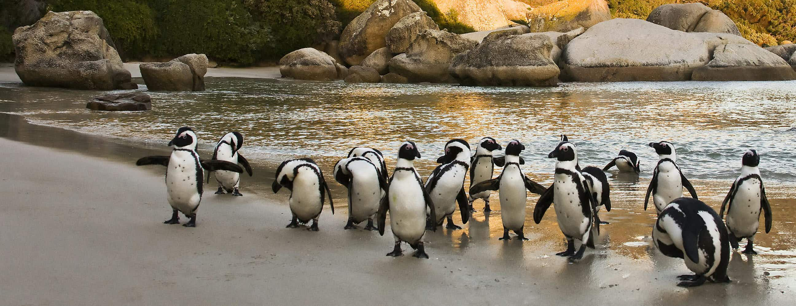 Boulder's Beach colony numbers 3000 and is the ideal place to see the African penguin © Andrea Willmore / Shutterstock