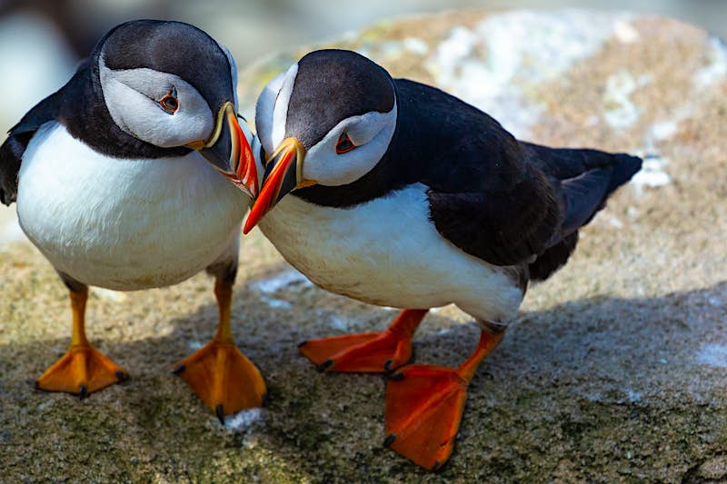 A close up of two puffins with their heads close together, standing on a rock