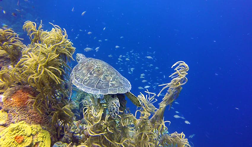 A sea turtle swims away from the viewer over a brilliant coral reef covered in underwater plants with tubular, pale green fronds over orange and chartreuse coral. Small silver fish swim in the background amidst deep, bright blue waters.