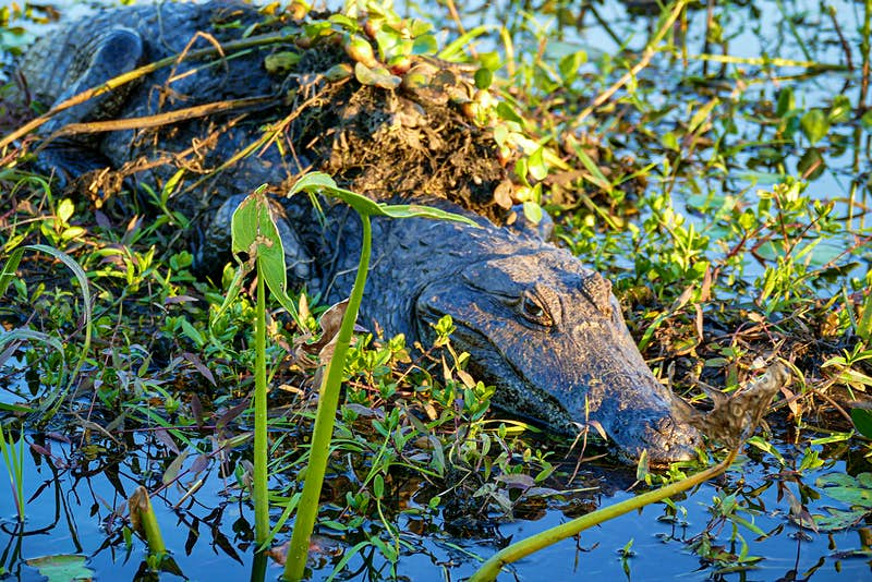 A caiman sits in a clump of wet grasses and plants in the Ibera Wetlands, Argentina.