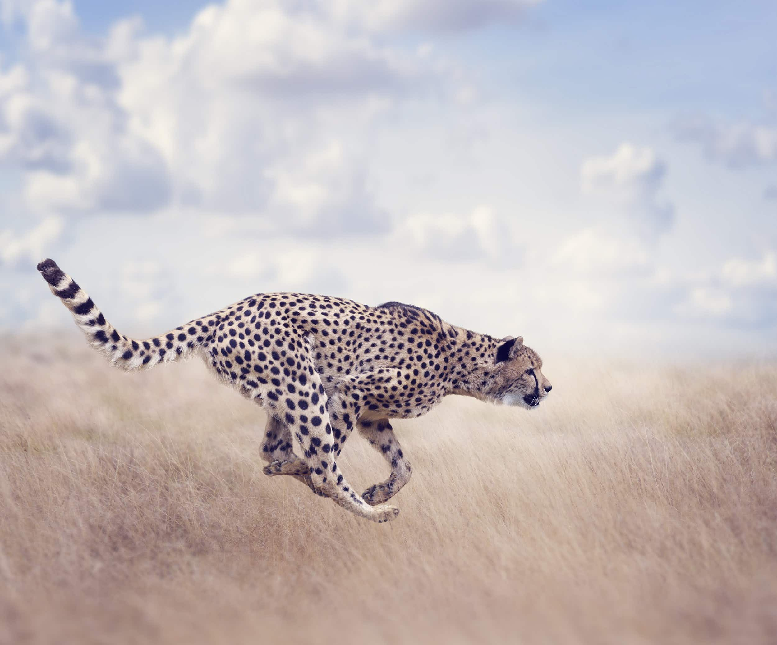 The cheetah's speed is made possible by a series of remarkable evolutionary adaptations © Saddako / Getty Images