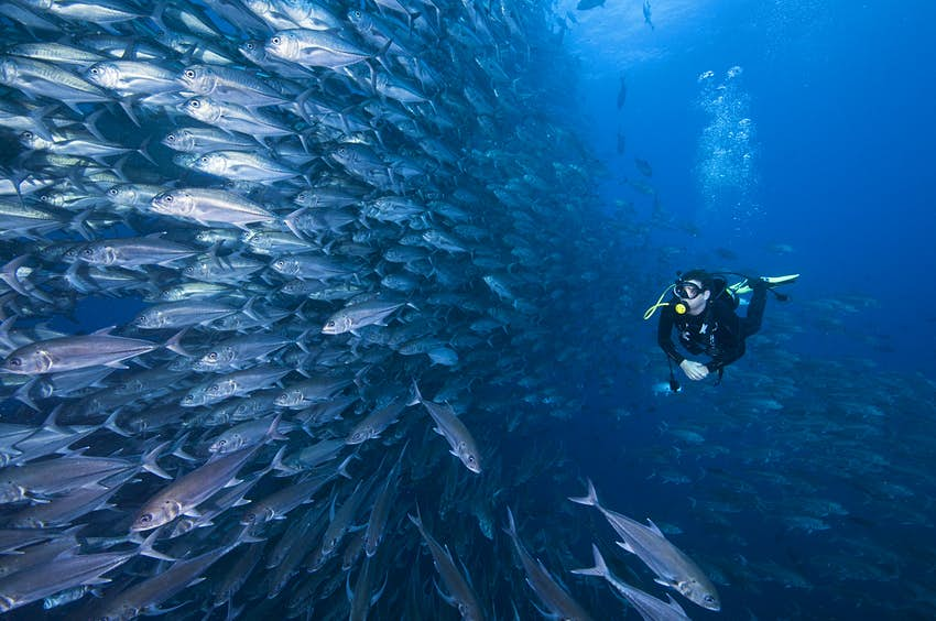 A scuba diver swimming past a wall of jacks (silver fish) within deep blue waters