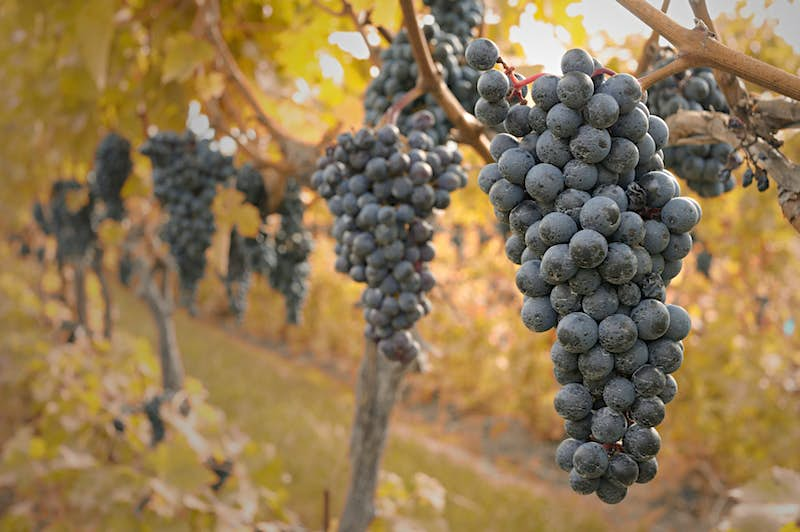 Big bunches of black grapes hang from vines with fall foliage out of focus in the background.