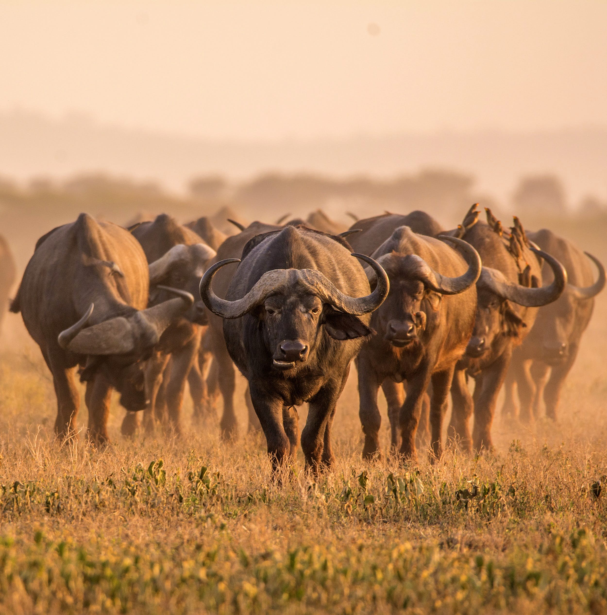 A large herd of buffalo walk towards the camera on a dusty savannah.
