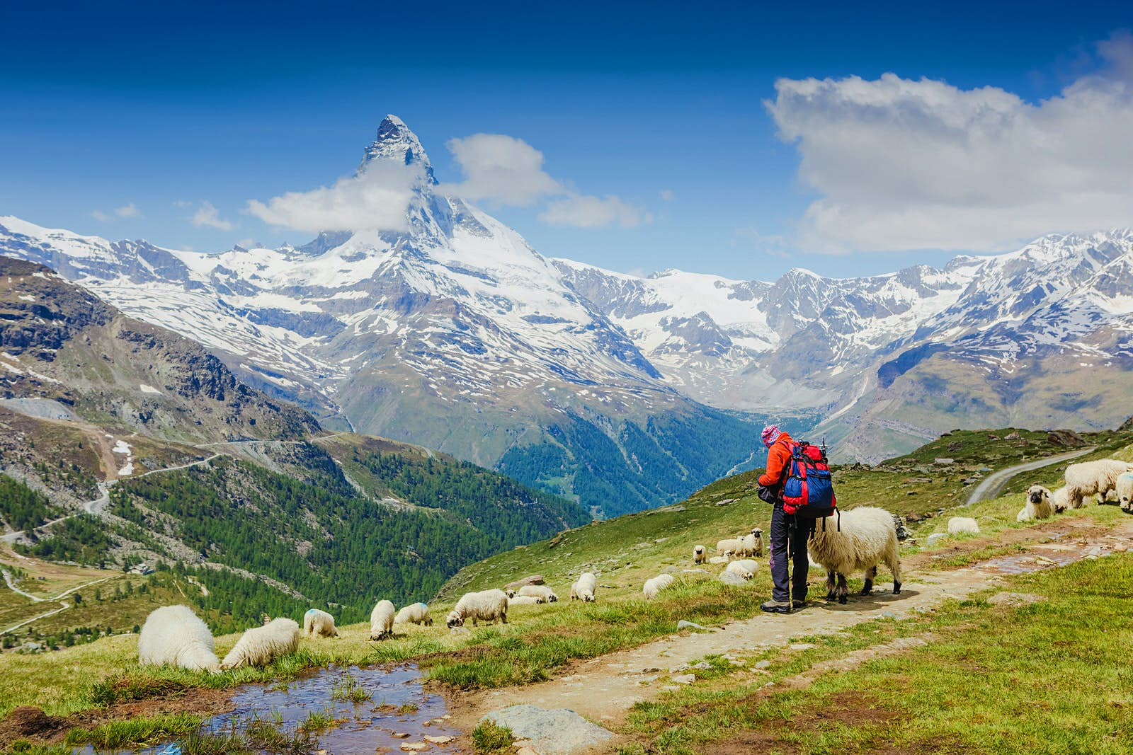 A hiker in full gear stands with a flock of sheep on a mountain with a view of the Matterhorn in the Swiss Alps