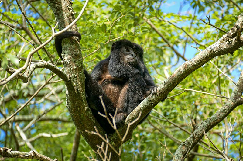 A black howler monkey sits at the crux of a tree in the Iberá wetlands. Northeast Argentina.