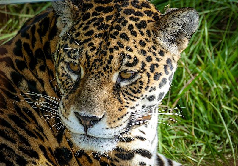 A close-up of a jaguar's face against a grassy background. Ibera, Northeast Argentina.