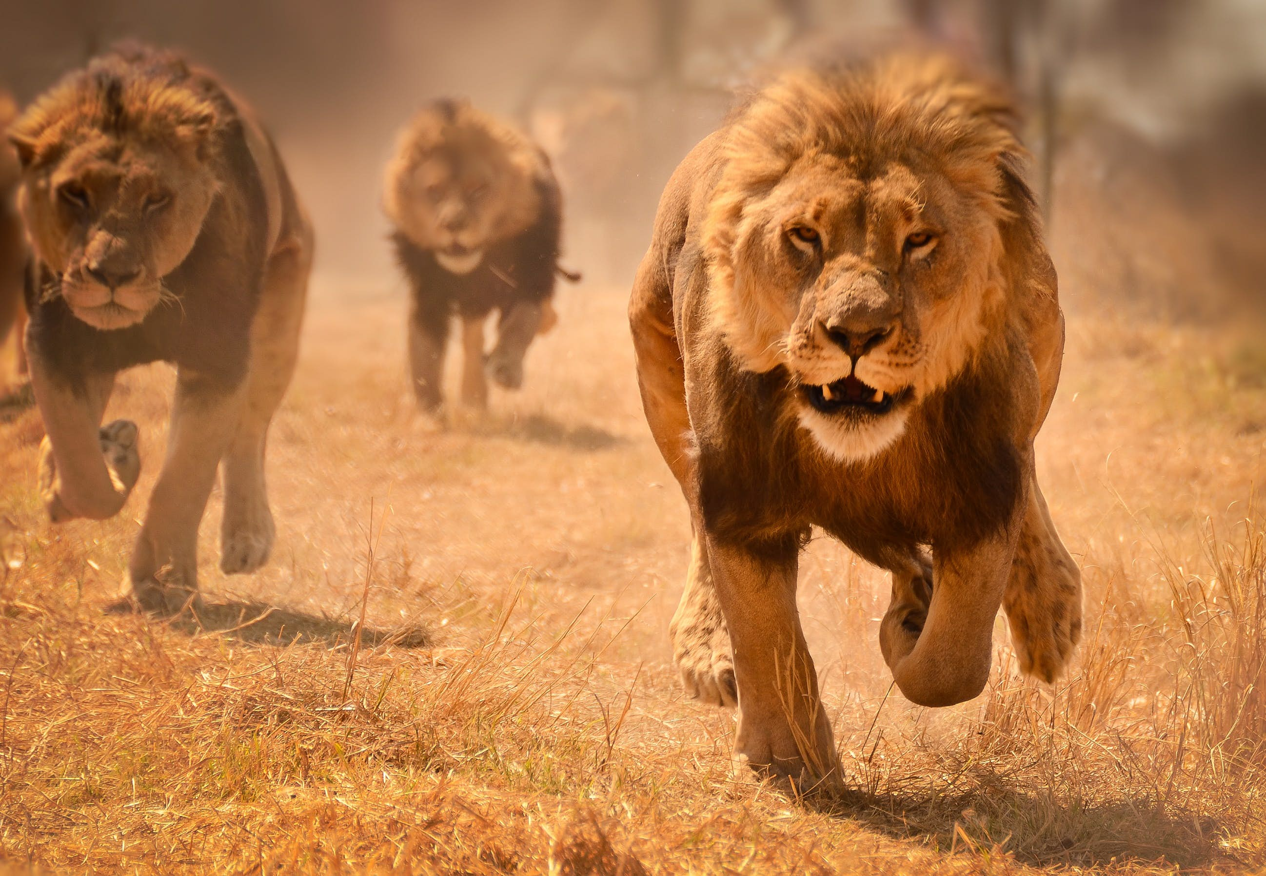 Safari animals: the story of lions (and the best places to see them) -  Lonely Planet