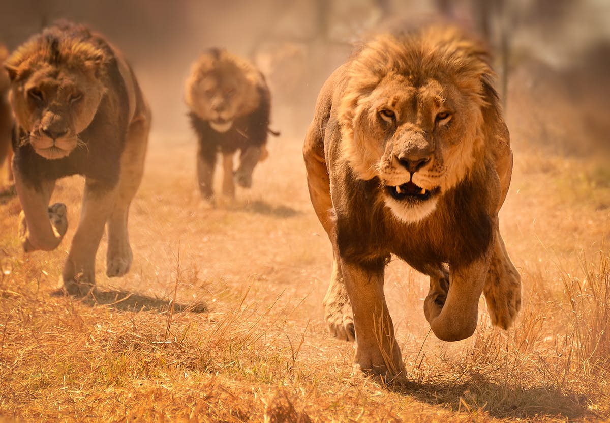 Rental Car Places >> Safari animals: the story of lions (and the best places to see them) - Lonely Planet