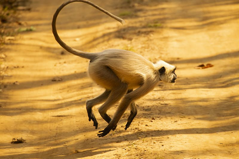 A small monkey jumps across a road.