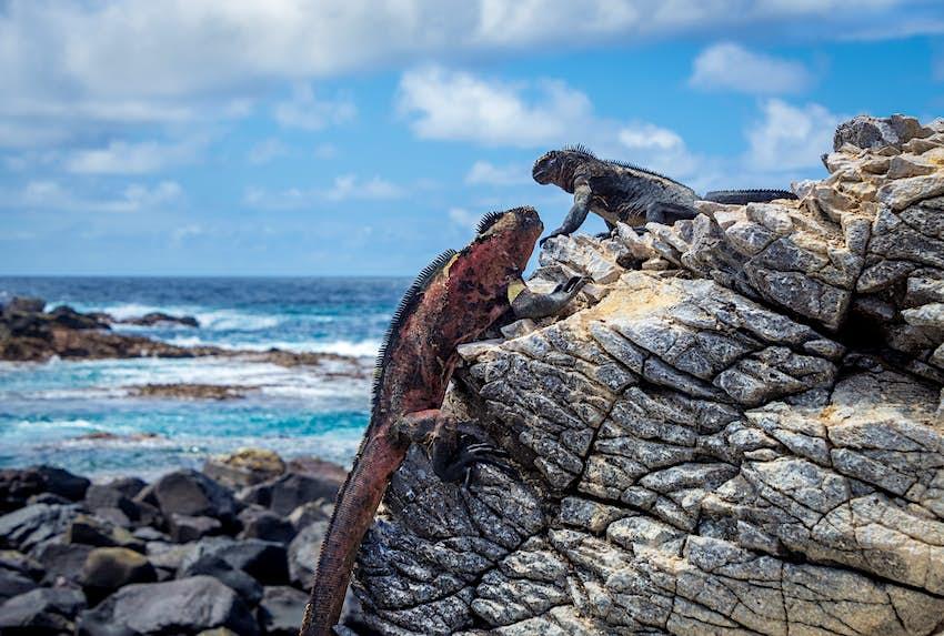 Hai con kỳ nhông biển đứng trên một tảng đá gần biển