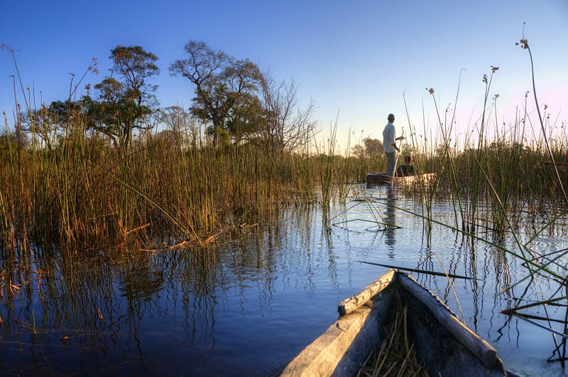 The front of a mokoro (dugout canoe) is visible going through long reeds in the waters of the Okavango Delta; ahead, deeper in the reeds and moving past a tree is another mokoro being poled by the guide.