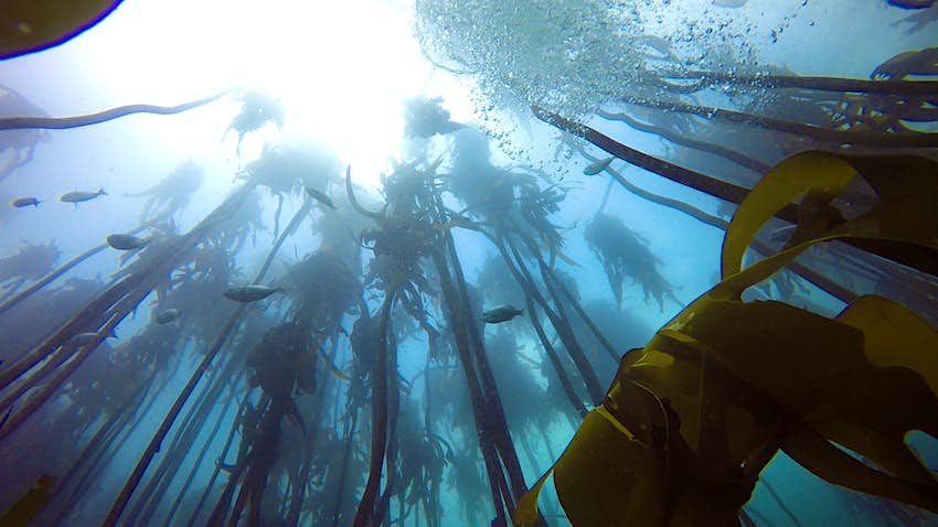 The photo is taken from under water, peering up at the surface. In the foreground, tall stands of vivid green kelp reach towards the surface as a school of big, silvery fish pass overhead through the light blue water. Scuba diving in national parks