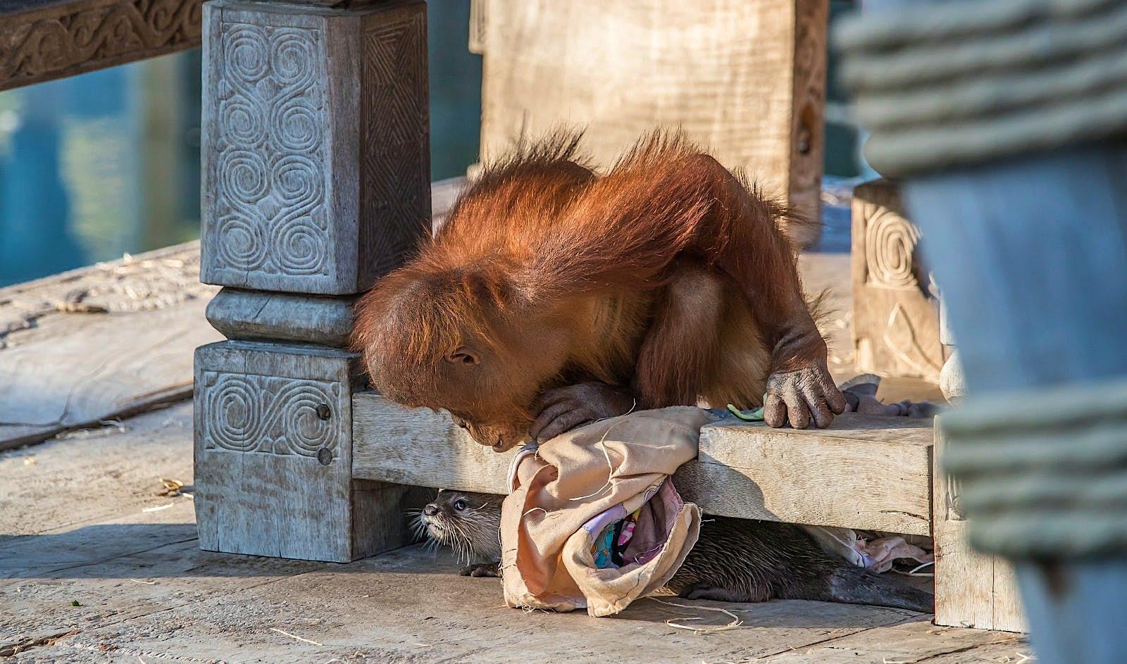 Un orangután de cuatro años se sienta en una estructura baja de madera y mira debajo de donde se esconden varias nutrias.