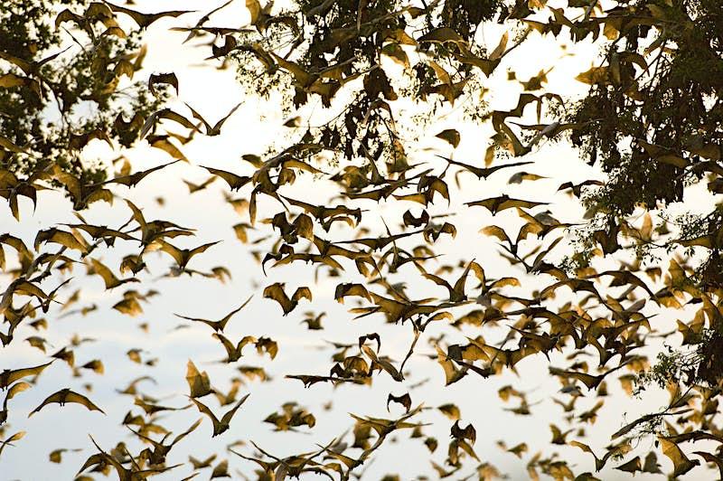 Africa's largest wildlife migration: the bats of Kasanka National Park