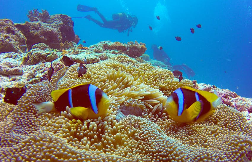 A pair of scuba divers swim in bright blue water behind a yellow and tan coral reef. In the extreme foreground, a pair of clown fish that almost mirror the divers' positions in the water are bright yellow, electric blue, and black.