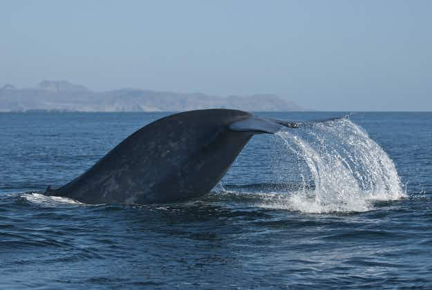 Chilean Navy works with locals to rescue whale