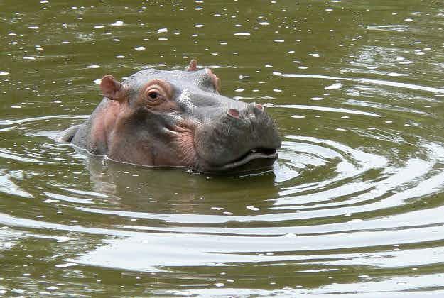 Hippo kills three at South Africa-Zimbabwe border