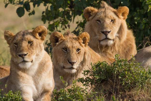 South American rescued circus lions flown to freedom in South African animal sanctuary