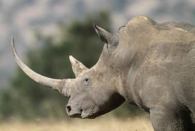 South Africa declares war on poachers as 1000 rhinos slaughtered this year