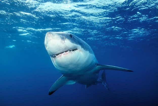 Rare shark nursery discovered by diver off Australia's south coast