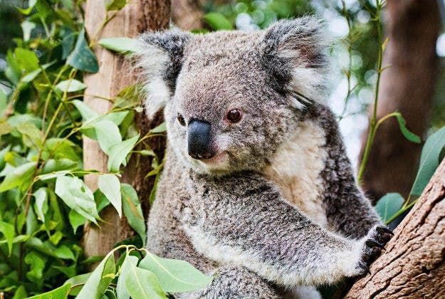koala has lucky escape from devastating bushfires