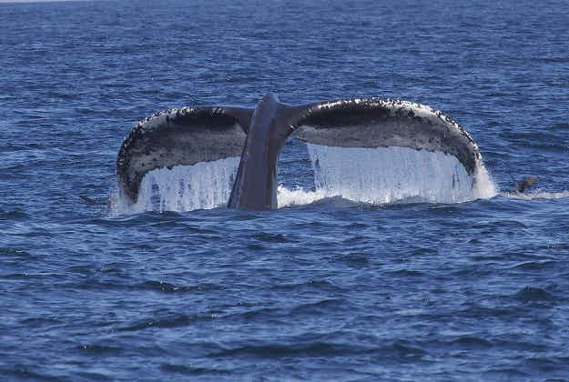 Swimmers avail of rare chance to swim with humpback whales in Australia