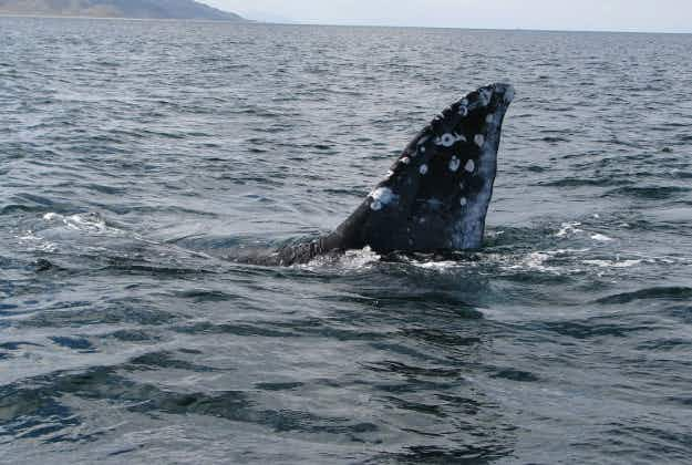 Spot a whale during watch-week on Oregon Coast