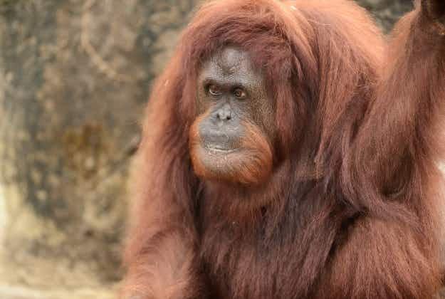 Orangutans in Melbourne Zoo play Xbox for university study
