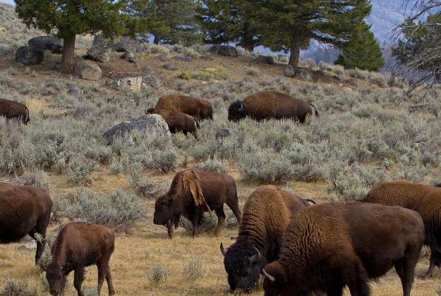Selfie danger - study examines link between smartphone photos and bison attacks