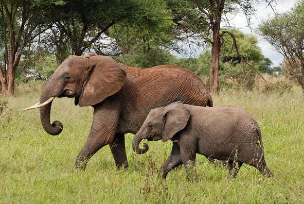 Baby elephant thrives after dramatic rescue from Zambezi river