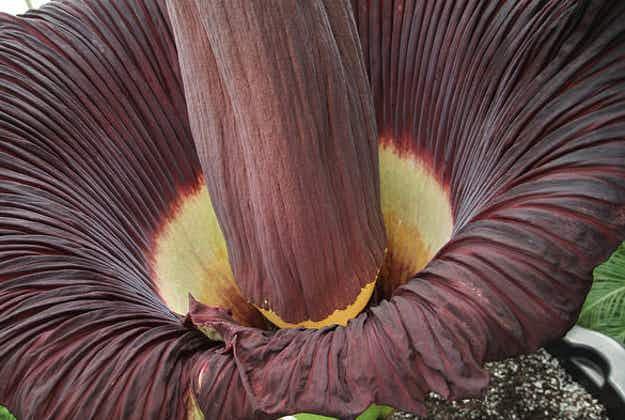 """""""Corpse flower"""" springs to life at Copenhagen's Botanical Gardens"""