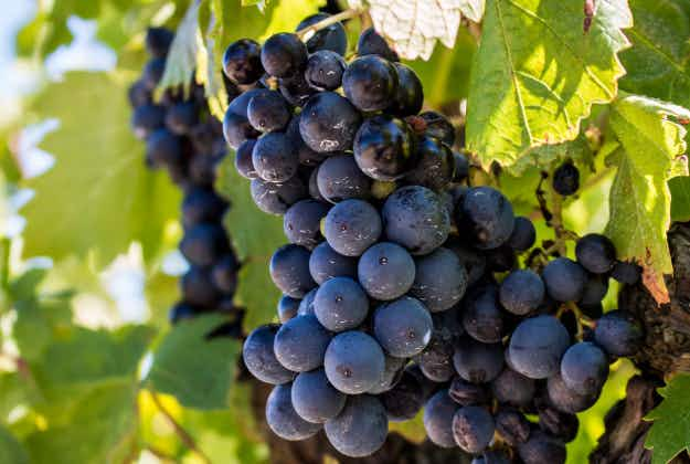 Archaeologists discover 5000-year-old traces of grapes at world's first vineyard