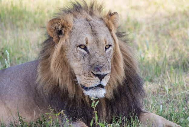 USA tightens laws on importing endangered lions