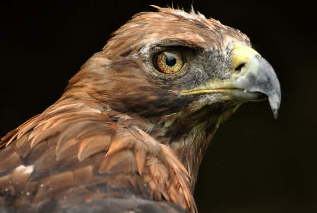 Major joy as number of UK's golden eagles fly past survival threshold