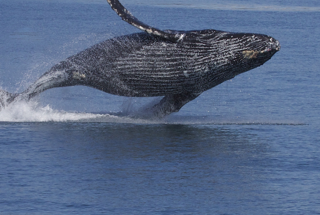 Feds drop Hawaiian humpback sanctuary plans