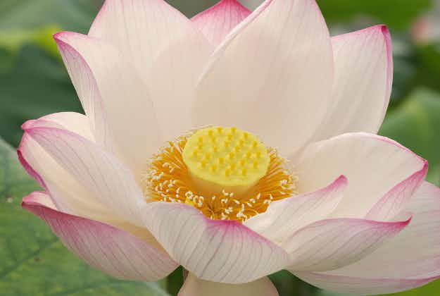 600-year-old lotus flower blooms in China