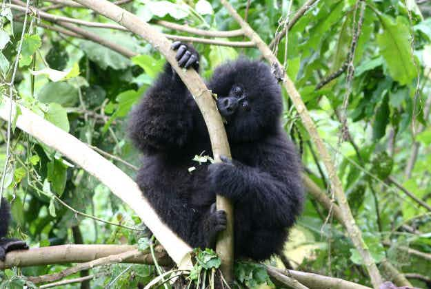 Rwanda: record number of baby gorillas to be named