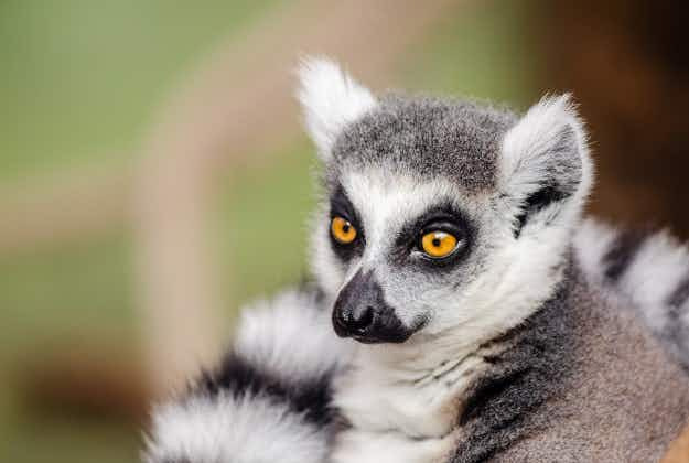 A facial recognition tool could help the endangered Lemur population of Madagascar