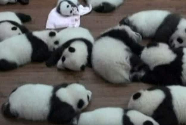 Six pairs of baby giant panda twins meet the public