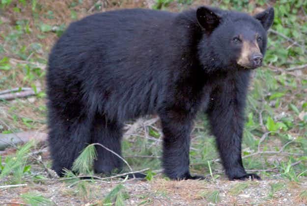 Bear spotted in Santa Monica Mountains for the first time in over 100 years