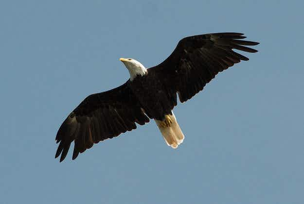 Agency seeks volunteers to count eagles in Wyoming