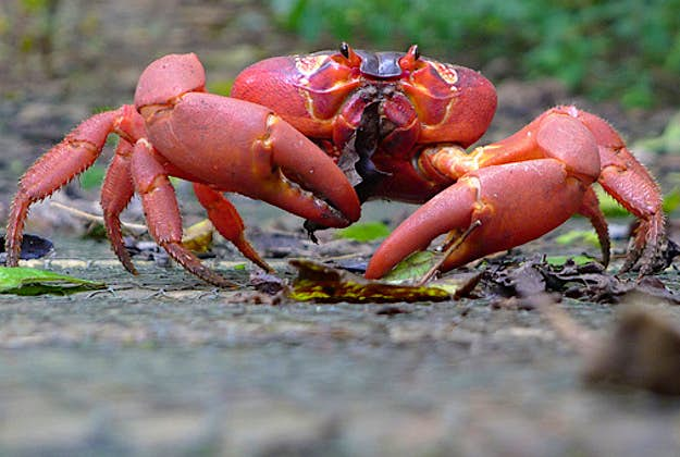 Christmas Island Red Crab.Christmas Islanders Build Crab Bridge To Aid Annual Mass
