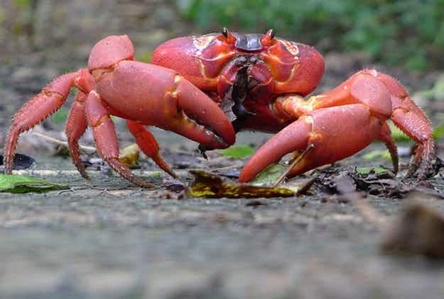 Christmas Islanders build crab bridge to aid annual mass migration
