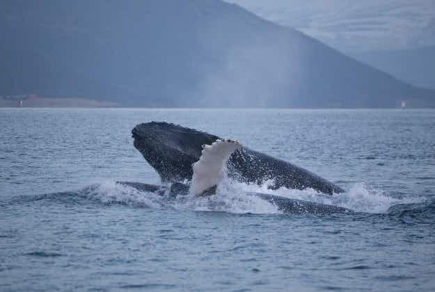 Drone captures Norwegian humpbacks hunting
